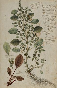 Amarante (Amaranthus). Dessin de Conrad Gessner de son encyclopédie botanique Historia plantarum, 1555-1565, aquarelle © Universitätsbibliothek Erlangen-Nürnberg.