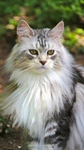Maine coon cat - My Favorite! Gentle Giant and a lord of Felines.