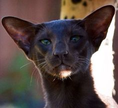 20 Most Affectionate Cat Breeds in The World Orientalisch – Liebevollste Katzenrassen Pretty Cats, Beautiful Cats, Animals Beautiful, Cute Animals, Siamese Cats, Cats And Kittens, Cats Bus, Oriental Shorthair Cats, Oriental Cat