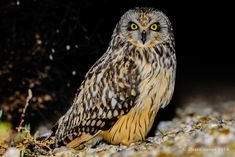 Coruja-do-nabal | Short-eared owl | Asio flammeus