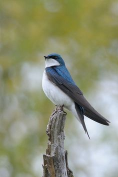 First Tree Swallow sighting in our yard, here in Olympia, Wash. I am always so glad to see these little guys return. They are a little early this year. Pretty Birds, Love Birds, Beautiful Birds, Small Birds, Colorful Birds, Swallow Bird, Kinds Of Birds, Backyard Birds, Mundo Animal