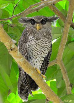Celebrating Singapore's BioDiversity!: Harry Potter and the Owls of Singapore Barred Eagle owl