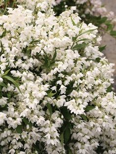 full size picture  indian hawthorn white indian