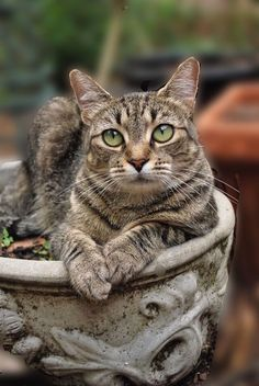 It's common to talk about tabbies as if they represent a cat breed. In fact, the word tabby denotes a coat pattern. Excellent What It Means to Be a Tabby Cat Ideas. Cool Cats, I Love Cats, Cute Kittens, Kittens Meowing, Ragdoll Kittens, Bengal Cats, Pretty Cats, Beautiful Cats, Gato Animal