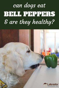 Can Dogs Eat Bell Peppers And Are They Healthy? - Golden Retriever staring down green bell pepper sitting on a table. Fresh Fruits And Vegetables, Healthy Vegetables, Green Bell Peppers, Stuffed Green Peppers, New Puppy Checklist, Best Treats For Dogs, Meat Diet, Can Dogs Eat, Dog Care Tips