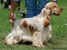 Cocker Spaniel - Yahoo Image Search Results