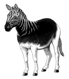 "Holocene Extinction Month #12 – Quagga  The quagga (Equus quagga subsp. quagga) was a South African subspecies of the plains zebra. Up to 1.35m tall at the shoulder (4'5""), it was distinguished from other zebras by its primarily brown coloration and limited white striping on the front half of the body.  Once found in great numbers, it was heavily hunted for meat and skins, and may also have been out-competed for forage by domestic livestock. The last known wild individual died in 1878, and…"
