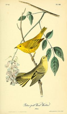The birds of America : from drawings made in the United States and their territories v.2 New York :J.B. Chevalier,1840-1844. biodiversitylibrary.org/item/124834
