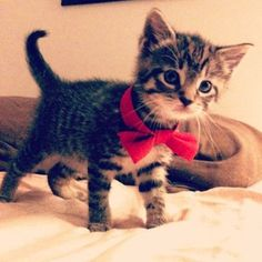 Red bow kitty!