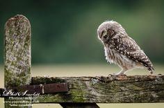 Little Owl by Phil Scarlett on 500px