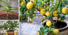 How to grow your own lemon tree! Even in northern climates and in the dead of winter, a productive lemon tree can be growing inside of your home or garage. Organic Gardening, Gardening Tips, Gardening Vegetables, Lemon Tree From Seed, How To Grow Lemon, Lemon Uses, Grands Pots, Growing Tomatoes, Healthy Fruits