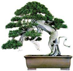 bonsaitoday:  Shimpaku Juniper Juniperus Chinensis, Bonsai Today #33, Cover