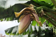 Anthony Keating's Japanese banana plant in Chertsey has flowered and is producing fruit Japanese Banana, Jungle Gardens, Banana Plants, Uk News, Tropical Plants, Planting Flowers, British, Fruit, Nature
