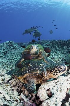 ✮ Hawaii, Maui - Several green sea turtles (Chelonia mydas) gather at a cleaning station on the reef