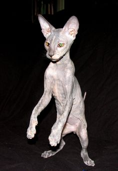 Peterbald kitten - female blue cream shammy / suede coat hairless cat. part monkey?