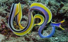 Anguila Listón Azul