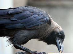 Gorgeous raven.