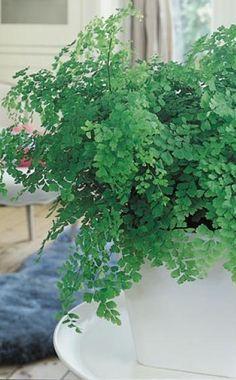 Der Frauenhaarfarn (Adiantum raddianum) mit seinen wedelartigen Fiederblättern mag es halbschattig bis schattig um 22 Grad Celsius bei 60 Prozent Luftfeuchte. Daher eignet er sich auch gut fürs Badezimmer. Man sollte ihn mit kalkarmen Wasser gleichmäßig feucht halten und dabei Staunässe vermeiden
