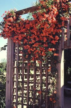'Tangerine Beauty' Crossvine has clusters of bright yellow-red tubular flowers are produced throughout spring. This vigorous semi-evergreen to evergreen climbing vine has dense foliage and can be used as a wall or ground cover.