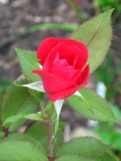 Tom's rose