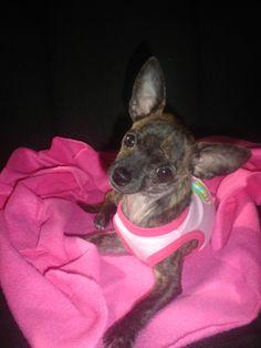 Lola the Chihuahua <3 ahh she looks just like my lola the chihuahua! angel.