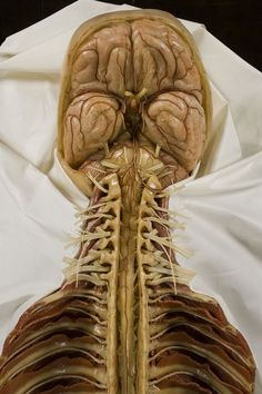 Back side view of body mind brain spine Francesco Calenzoli anatomy of the spine, spinal cord and brain (front view), wax, Florence before Brain Anatomy, Human Anatomy And Physiology, Muscle Anatomy, Central Nervous System, Medical Illustration, Medical Science, Massage Therapy, Physical Therapy, Human Body