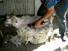 #goatvet likes this video showing how cashmere goat shearing is done in Australia