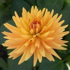 Dahlia 'Andries Orange': semi-cactus