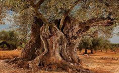 La Farga de Arion, el olivo monumental de Ulldecona (Tarragona), tiene una edad estimada de 1.701 años