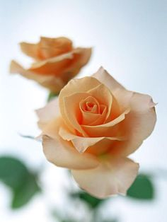peach roses - they are my most favorite. Loved them since I was little At a funeral, it was the first time I ever saw the entire mud section of a casket covered in gorgeous soft light peach roses...