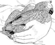 Sally Blanchard - Pen Drawing Blue-front Amazon Chicks in hand