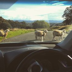 Only in New Zealand - sheep crossing.