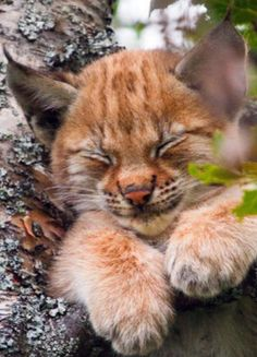 Top 10 Most Adorable Lynx Babies!-- Top 10 Most Adorable Lynx Babies! Big Cats, Crazy Cats, Cool Cats, Cats And Kittens, Kittens Cutest, Pretty Cats, Beautiful Cats, Animals Beautiful, Cute Baby Animals