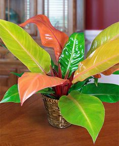 """Prince of Orange"" Philodendron – House Plants Prince Of Orange, Orange Plant, Festa Toy Story, Jade Plants, Silk Plants, Variegated Plants, Green Plants, Decoration Plante, Best Indoor Plants"