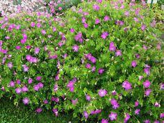 Verikurjenpolvi - Geranium sanguineum