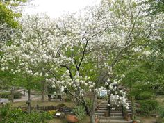 Juneberry Tree. Fruiting fruit tree, full sun to partial shade. White spring flowers. Zones 3 to 9.