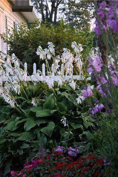 Garden gazing Ball, white picket fence, Hosta Frances Williams ...