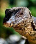 """One might wonder what's the subject of water monitor lizards doing in one of Singapore's foremost lifestyle and travel oriented reviews websites. Well, being an avid nature photographer and repeatedly coming up close and personal with these """"gentle"""" lizards during my park visits and the fact that I overheard many park visitors frequently desc..."""