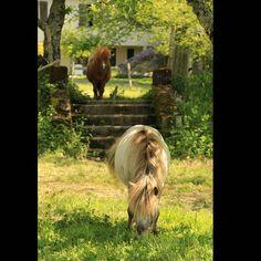 #poney #limousin #aquitaine #animal #cheval #naturelovers #nature #natureart #naturelover #natureza #naturephotography  #natureshots #natureporn #naturegram #horse #equine #equestrian #horsesofinstagram #horselover #horseoftheday by isabelle.photographies