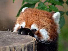 Red panda being sneaky