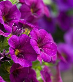 Cabaret Purple Glow calibrachoa- great for sun.  Had in front of house.  From WM in 2011.