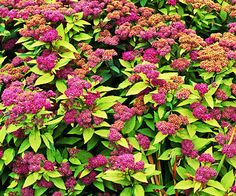 Goldflame spirea (Spiraea japonica 'Goldflame') is a small shrub to 2 to 3 feet high, with orange-gold tinted new growth that softens to light green in summer, then copper-orange in fall. It bears pink flowers in early summer. Zones 4-9 Spirea - Plant Encyclopedia - BHG.com