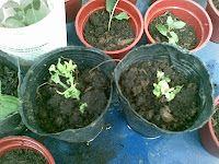 how to propagate cuttings with HONEY