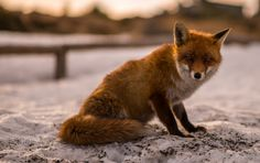 Fox Portrait by DF Photography on 500px