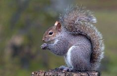 """Like a small grey coffee-pot, sits the squirrel. He is not all he should be, kills by dozens trees, and eats his red-brown cousins."" (""The Grey Squirrel"", Humbert Wolfe) Eastern Gray Squirrel, Red Squirrel, Squirrel Hunting, Summer Science, Science For Kids, Life Science Projects, Get Rid Of Squirrels, Squirrel Pictures, Woodland Creatures"