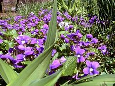 Wild Violets for so many recipes and health