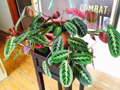 Jardineria ,plantas y su cuidado : PRAYER PLANT Maranta leuconeura