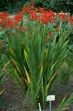 "Crocosmia 'Lucifer'  A unique and beautiful hardy South African bulb for the late summer garden. It is, however, very particular with soil requirements; it must be grown in exceptionally well-drained gritty soil, and must be kept very dry during their dormancy (winter). 'Lucifer', a 24-30"" tall brilliant red-orange variety, is probably the easiest and most to grow of the many available hybrids, yet it too can disappear after a season or two."