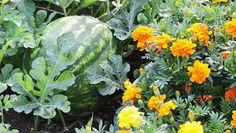 melon and marigold