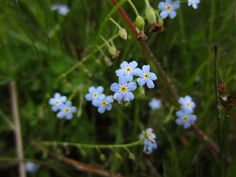 """Wild flowers of the Isle of Man - Field forget-me-not (Myosotis arvensis) This tiny blue flower grows in grassy places. It is one of several varieties of forget-me-not that grow on the island.  The forget-me-not is often used as a symbol of remembrance.  The Manx name for this flower is """"lus y chooinaght"""", which means """"plant of remembrance""""."""